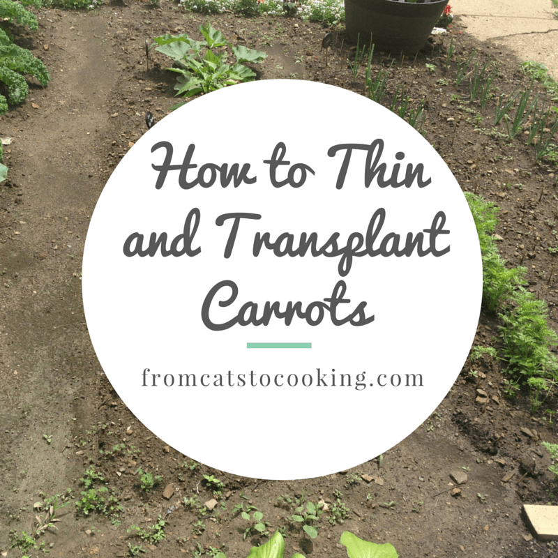 How to Thin and Transplant Carrots | fromcatstocooking.com