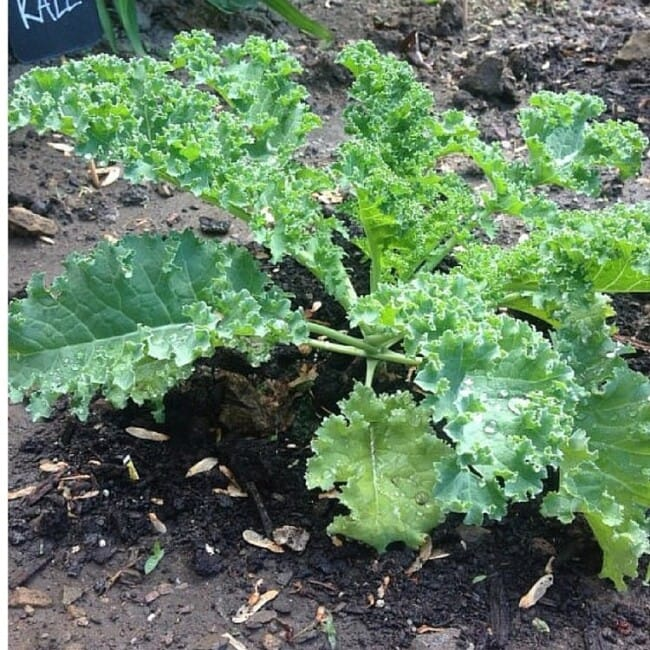 How to Easily Harvest Kale for Beginners // fromcatstocooking.com