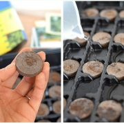 How to easily start seedlings indoors with peat pellets. This is a great way for beginner vegetable gardeners to start their seeds indoors for a great start to the gardening season!